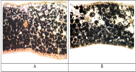 The transverse section of the storing scales G. woronowii (A) and G. nivalis (B)