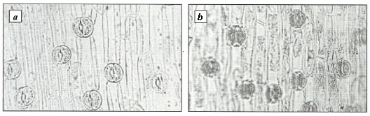 Lower epidermis Voronov's snowdrop (a) and common snowdrop leaves (b)