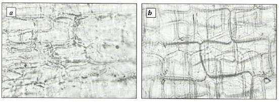 Epidermis of external glume from the outer side of Voronov's snowdrop (a) and common snowdrop (b)