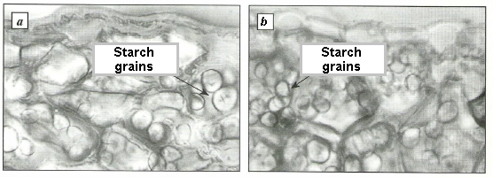 Cells of parenchima of storage scales with starch grains of Voronov's snowdrop (a) and common snowdrop (b)